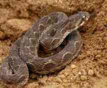 Palestine Saw Scale Viper