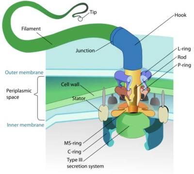 Bacterial-Flagellum